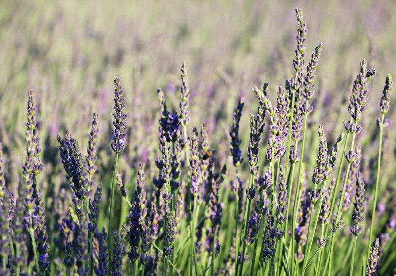 cyherb+lavender