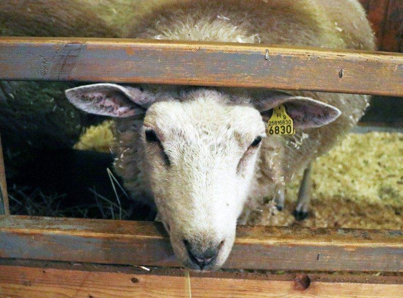 tallipiha+lammas